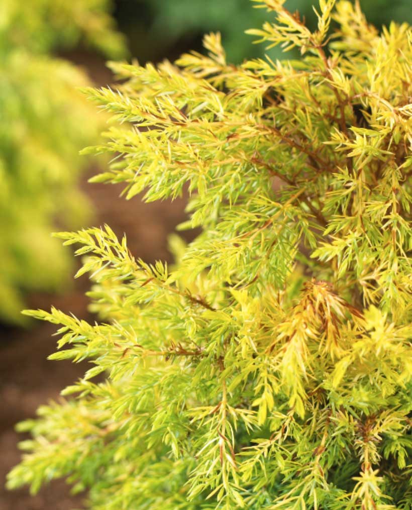 juniperus compressa gold cone