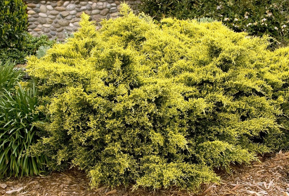 juniperus all gold.jpg