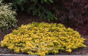 Juniperus Gold Strike.jpg
