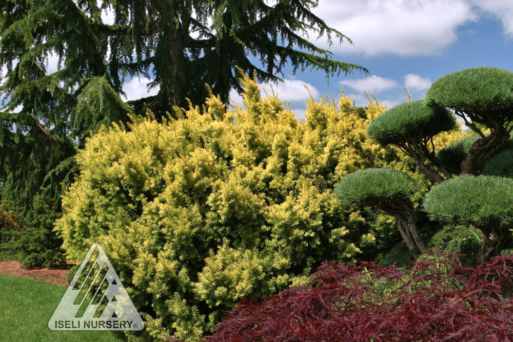 taxus dwarf bright gold.jpg