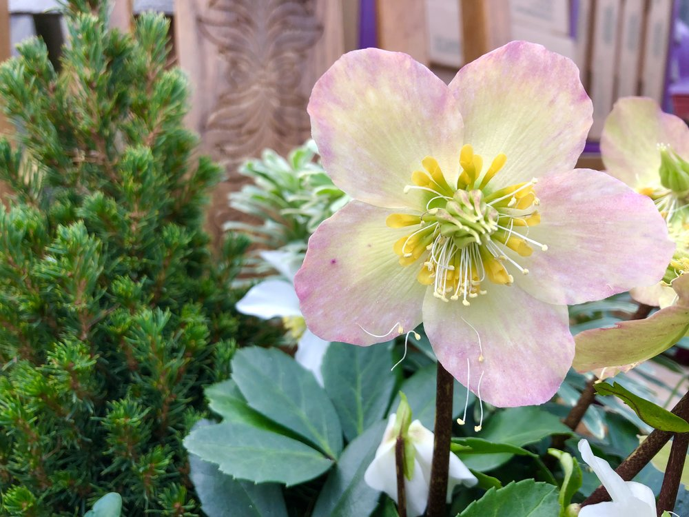 Hellebore in mix.JPG