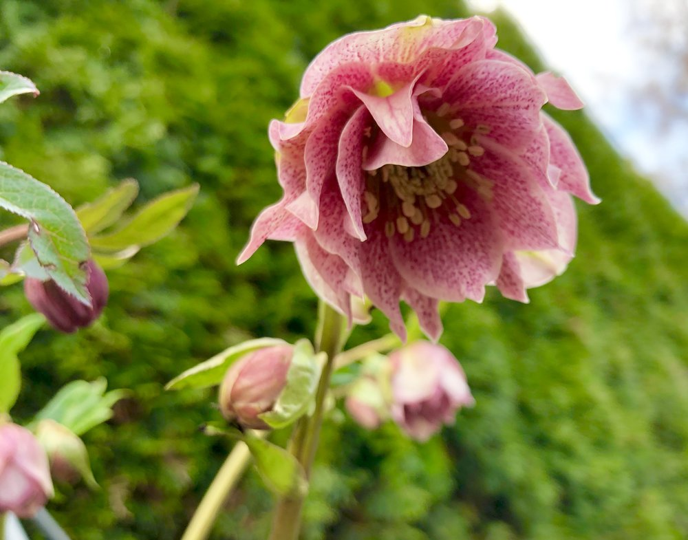 Hellebore from steve's yard7.JPG