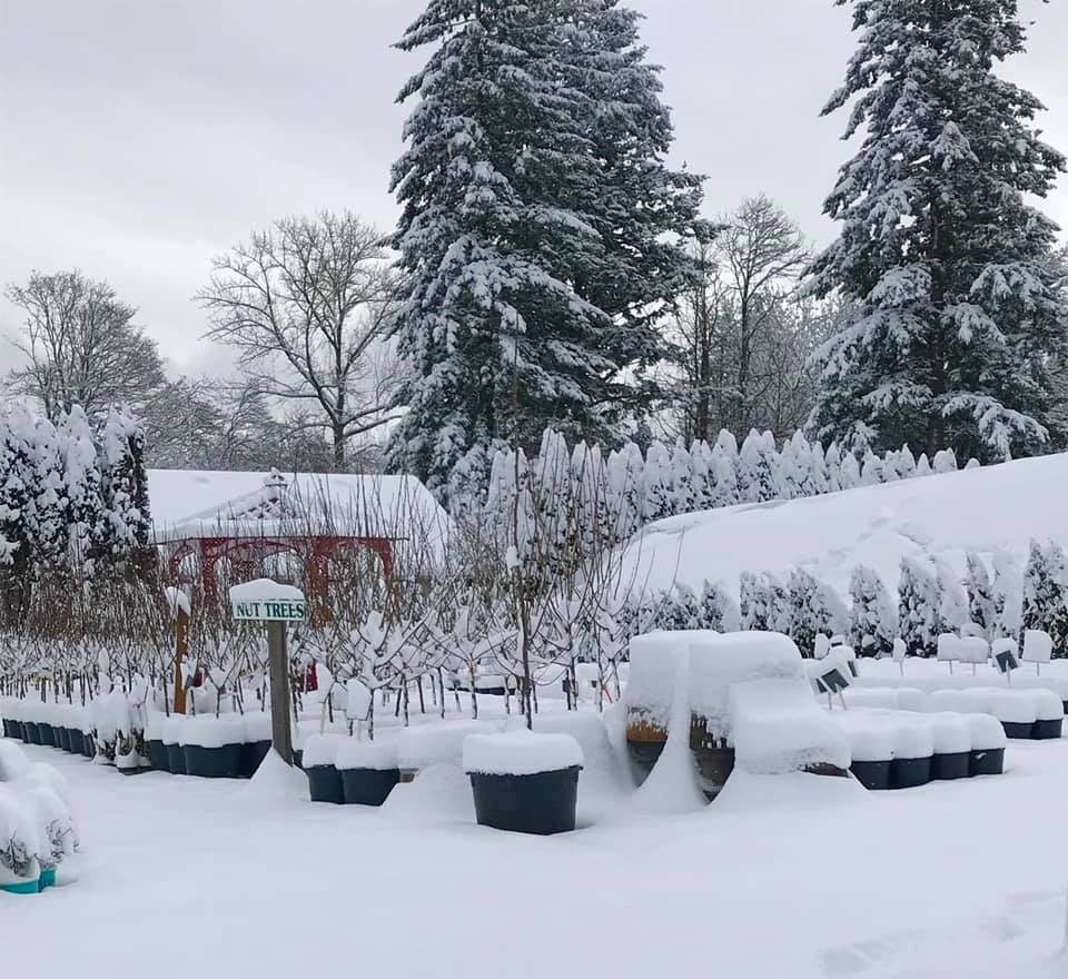 fruit trees covered in snow.jpg