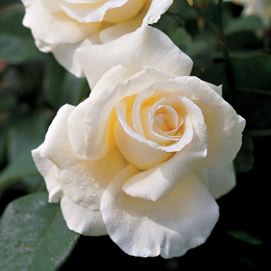 honor rose.jpg