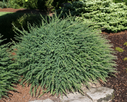Podocarpus Blue Gem.jpg