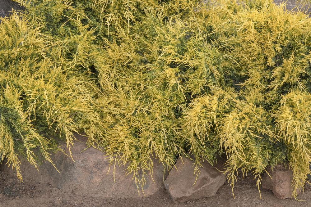 juniper sea of gold.jpg