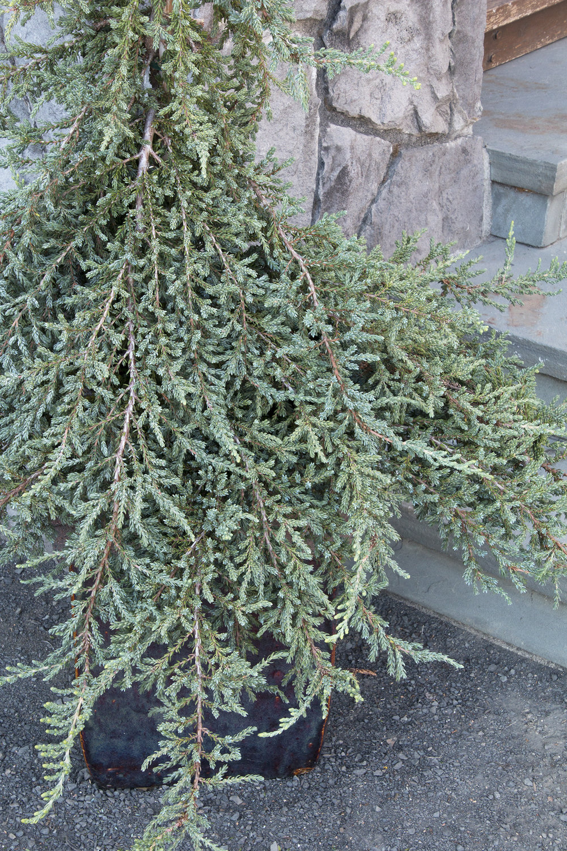 juniper montana.jpg