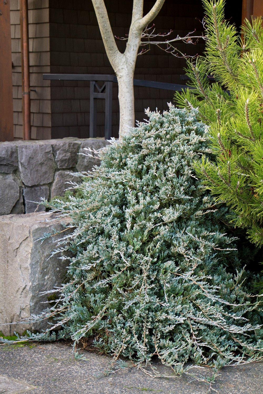juniper wiltonii.jpg
