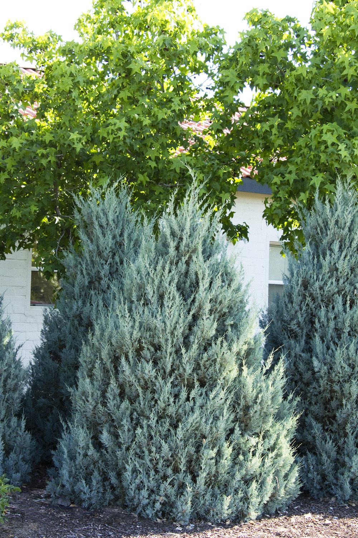 juniper wichita blue.jpg
