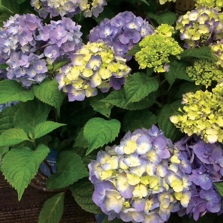 Endless Summer Bloomstruck.jpg