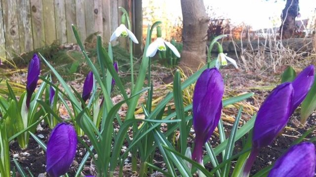 spring+bulbs+popping+up+in+steve_s+yard.jpg
