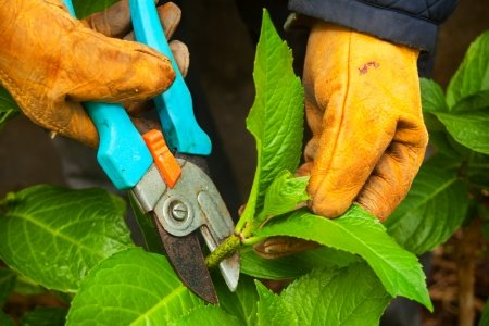 pruning hydrangea.jpg