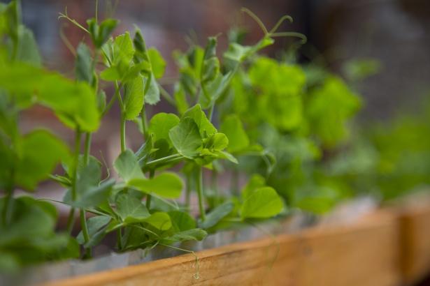 peas-plant.jpg