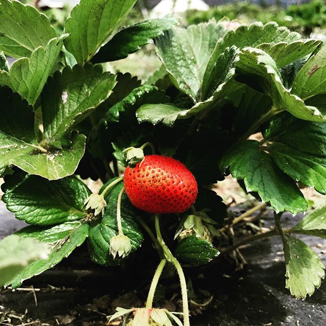 We are pretty much picked out of strawberries right now but there are a few of these babies still out there if you look close enough! Blueberries, blackberries, and raspberries are starting to ripen! It's almost time to stop everything and PICK BERRIES! 😍🍓🌻 #upick #berries #CAheritage #organjc #summertime