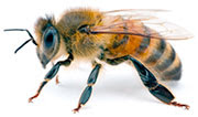 Apis mellifera, the Western HoneyBee