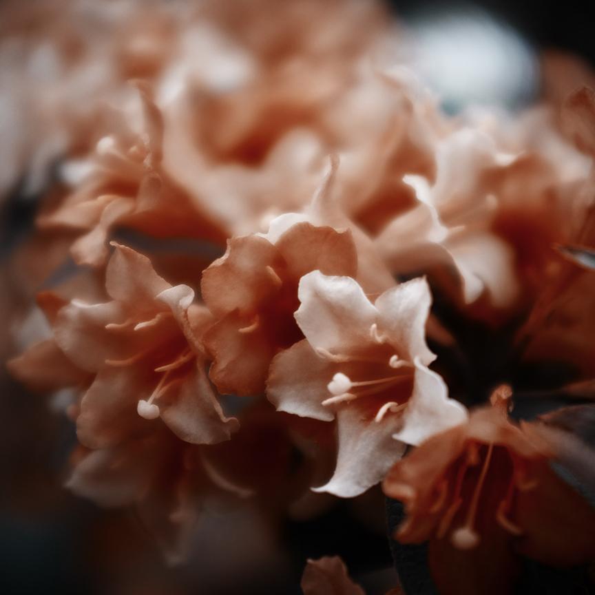 macroflowers