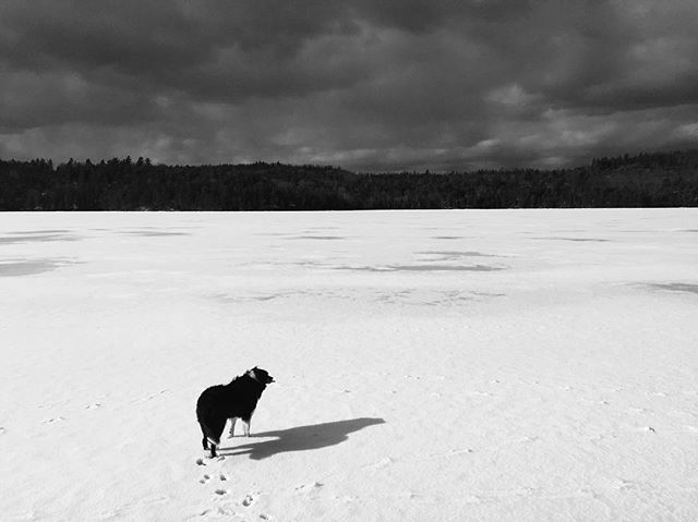 Our border collie, Hobie, takes one last stroll on the lake before the spring breakup.  #home #roots #haliburtonhighlands #haliburton #myhaliburtonhighlands #draglake @natgeocreative