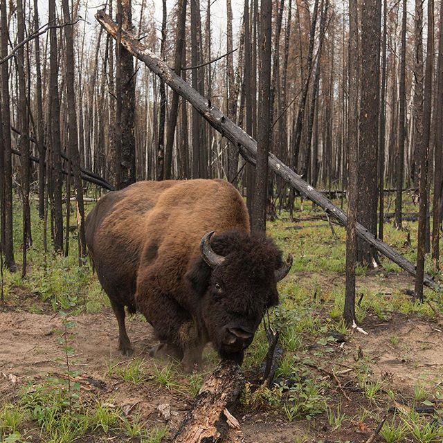 Back in Wood Buffalo National Park #boreal #tooclose