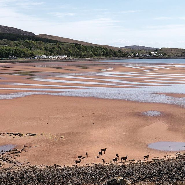 Even the deer couldn't resist the pink sands at Applecross #scottishhighlands #bestbeaches #worththedrive