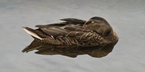 Sleeping-Mallard-Hen.jpg
