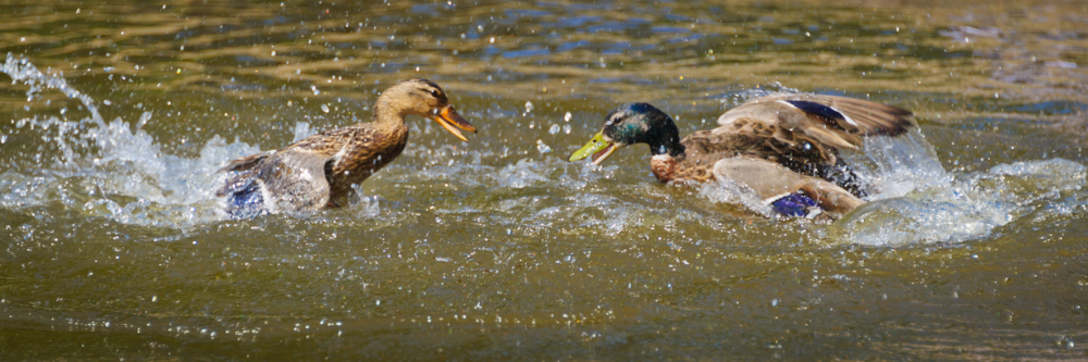 Photo: Ducks Dueling by Mark Roger Bailey