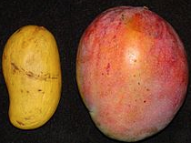 Ataulfo mango (left), tommy atkins (right)