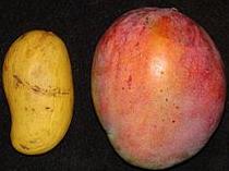 Ataulfo mango (left), tommy atkins (right)