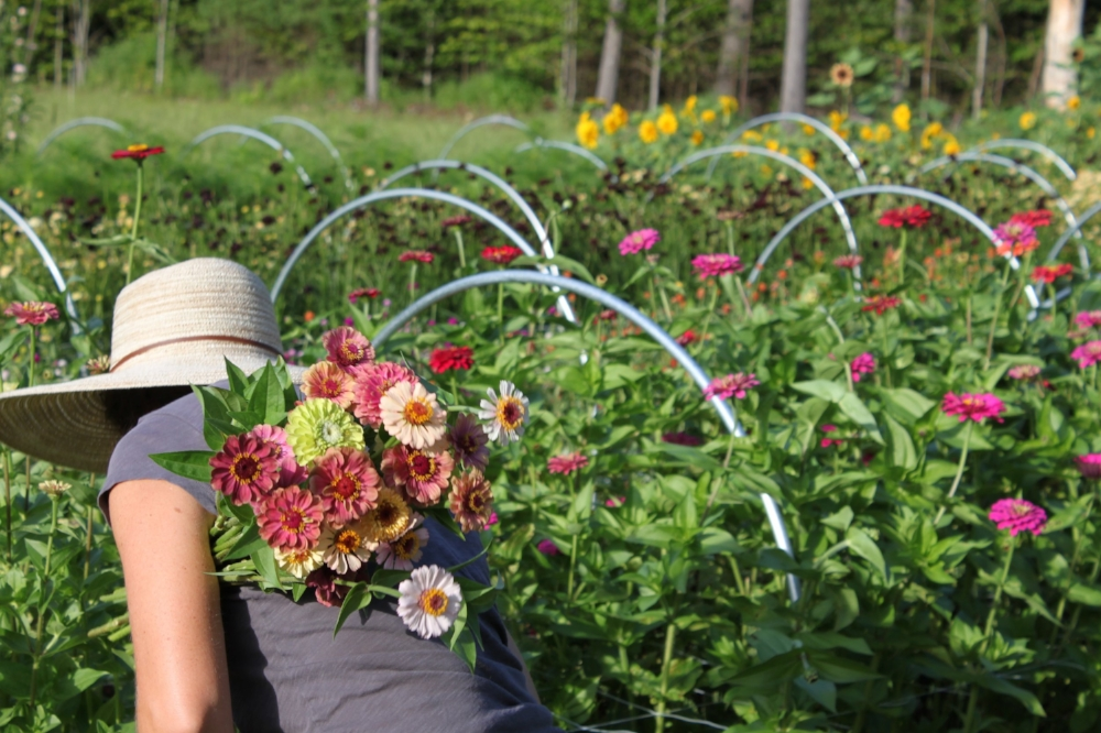 Harvesting zinnias at Tanglebloom Flower Farm