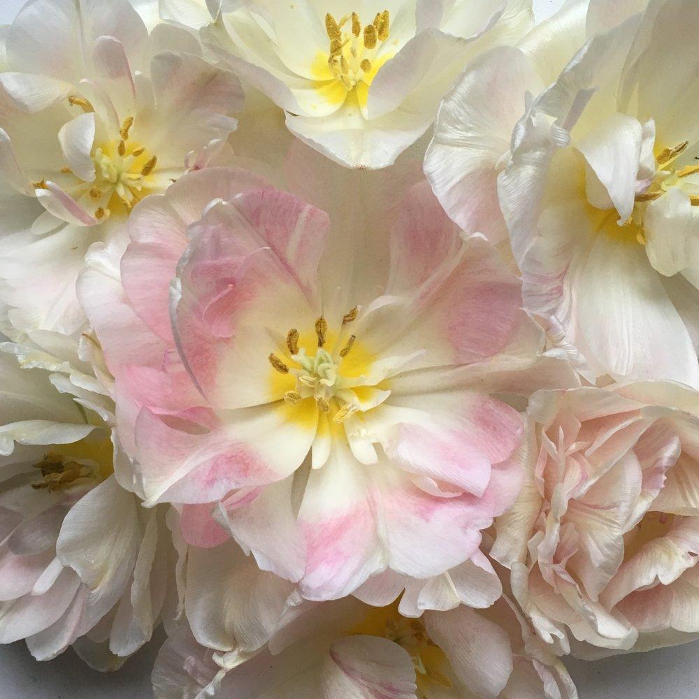Spring flowers CSA tulips