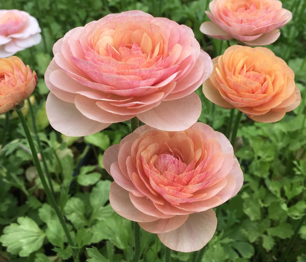Ranunculus from Tanglebloom