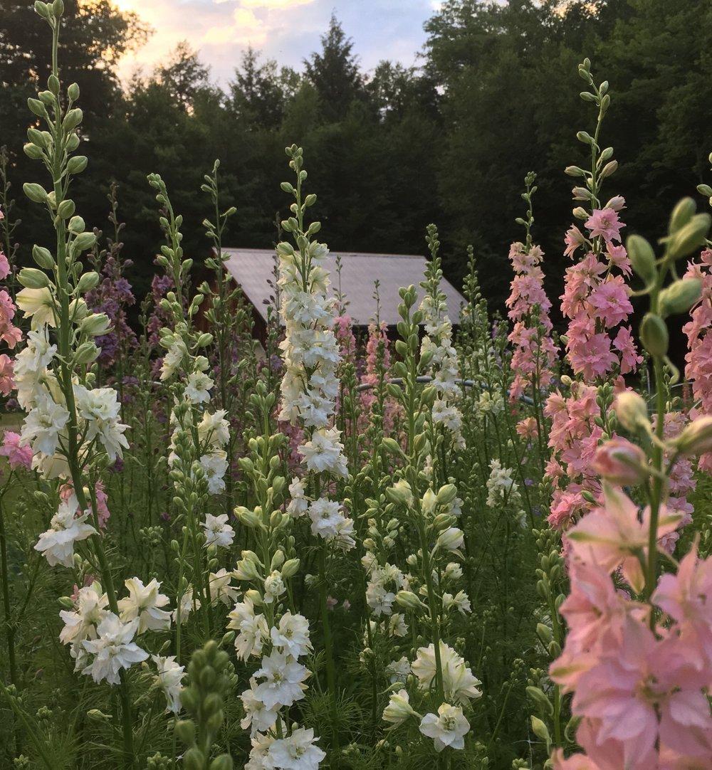 Larkspur in bloom at Tanglebloom