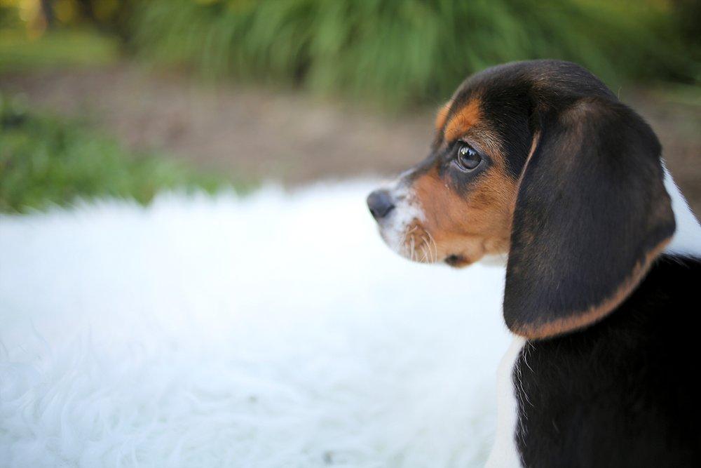 Lola the Sweet Little Beagle Baby | Blacksburg Pet Portrait Photographer, Holly Cromer