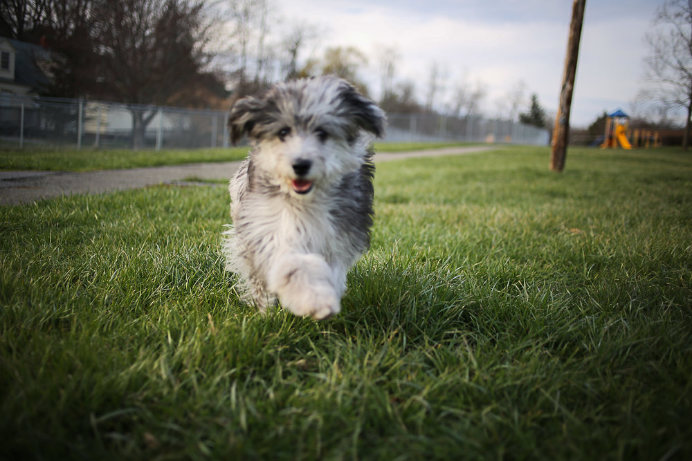 Mini Aussie Doodle Puppy | Blacksburg Pet Photographer, Holly Cromer