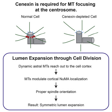 Cenexin controls centrosome positioning during cell migration, is required for spindle orientation, lumen formation, and controls the above activities by modulating MT organization and stability