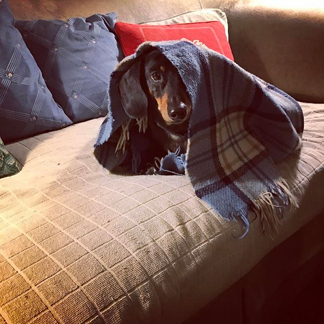 If you give a dachshund a blanket...