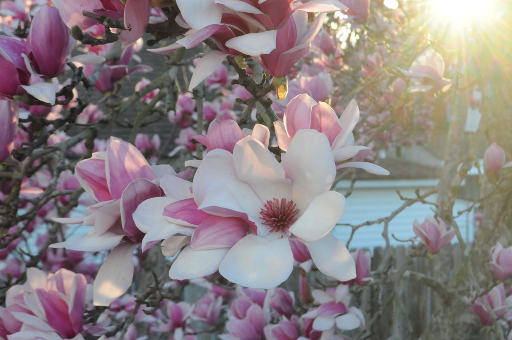 pinkmagnoliatree.JPG