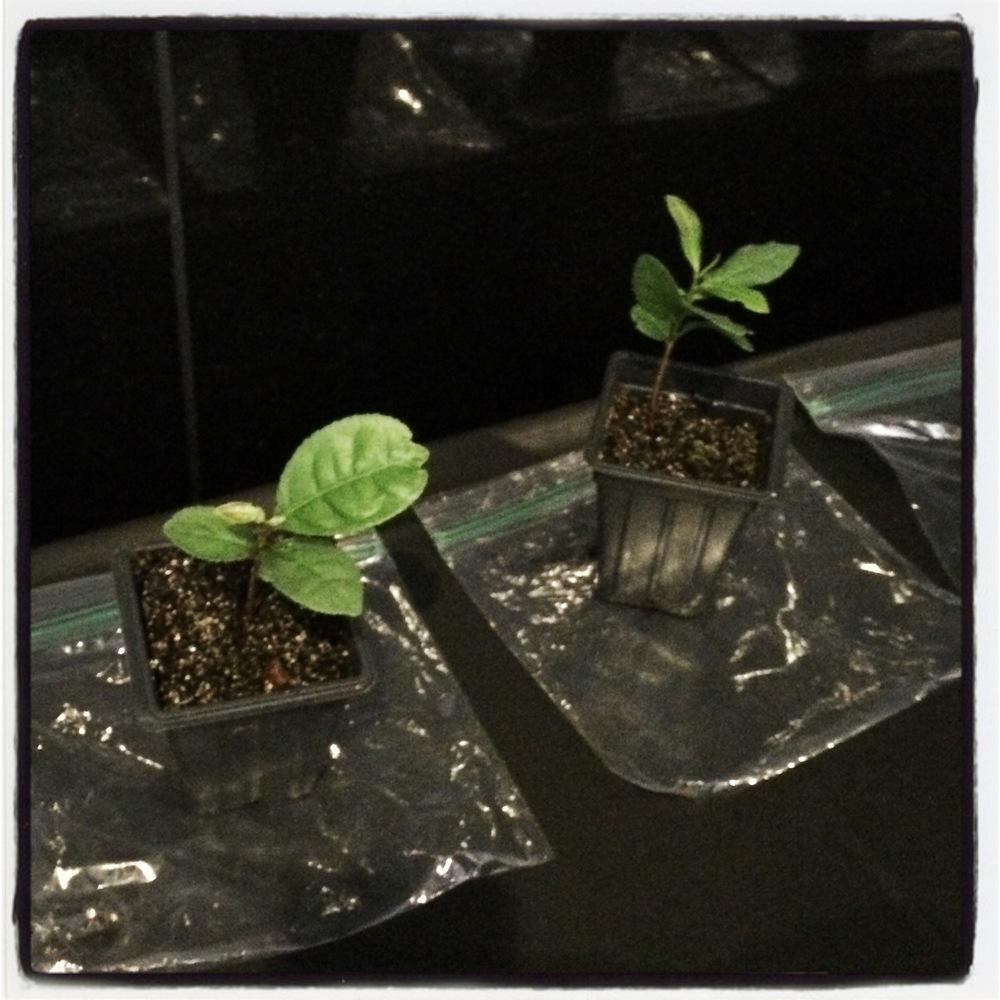 Baby Tea Plants