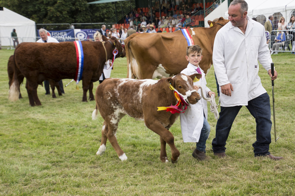 County Show junior cow.jpg