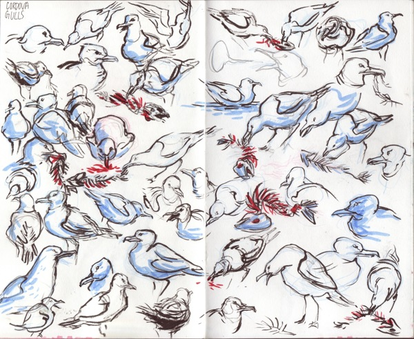 Gull Studies
