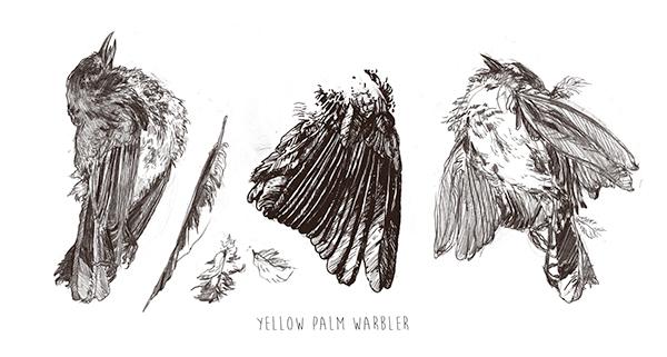 Warbler Studies
