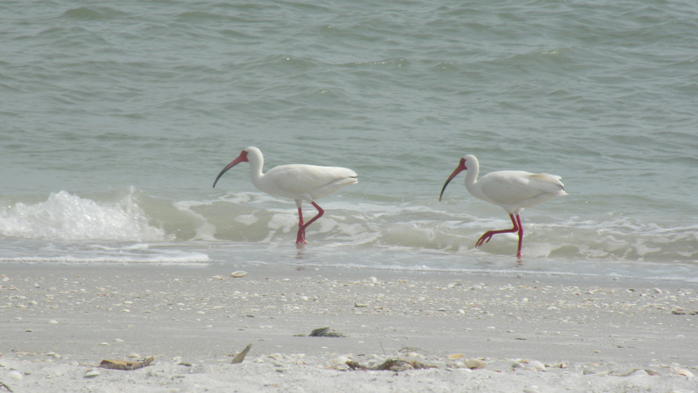 White Ibis on Beach.JPG