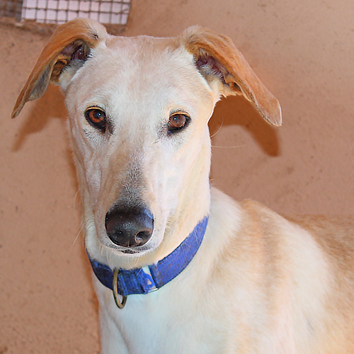 adotable-galgos_alex1.jpg