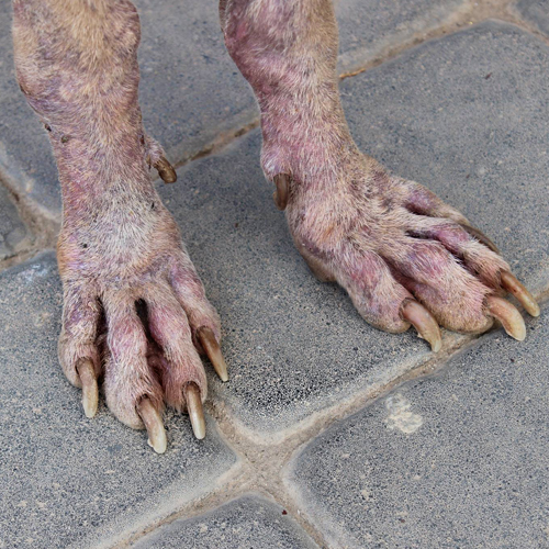 Trevor's nails when rescued.