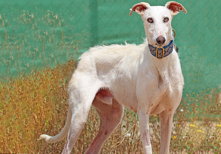Alfred is a white, fuzzy galgo who is up for adoption at Galgos del Sol.