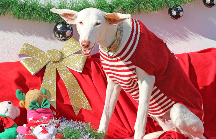 """2018 Christmas Facebook Advent Calendar. """"Alba is a beautiful white Podenca that was found abandoned with her mouth chained so she couldn't eat. That hasn't held her back tho because she's a cuddle bubble snuggle mcfuggle and is ready for a new home. She loves humans and other dogs."""""""