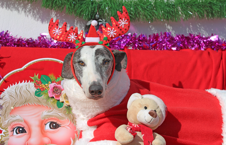 "2018 Christmas Facebook Advent Calendar. ""Blizzard is a wonderful boy who so ready for a forever home. He loves his humans and likes other dogs but humans are his favourite. He's good with kids and loves to chill out on a sofa."""