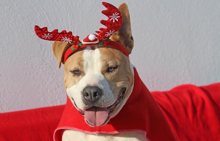 En el día 12 de Navidad nos llega un muchachón guapo llamado Twinkle. Twinkle Toes de verdad que es un derroche de encanto. Nos encantaría que Twinkle encontrase un hogar en España como perro único (o con otro como máximo) donde sea el centro del mundo de alguien. Le encanta la agilidad, tiene mucha confianza en sí mismo, le encanta la gente y relajarse al sol. Quien adopte a Twinkle necesitará una licencia PPP. Contáctenos para más información