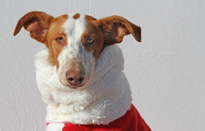 """2018 Christmas Advent Calendar. """"Jed is a wonderful podenco that is really growing in confidence day by day. He was put in a perrera where he was so scared he couldn't move but now he's finding the puppy inside of him. He is still nervous of new people but will make a wonderful companion once settled in a new home. Could it be yours?"""""""