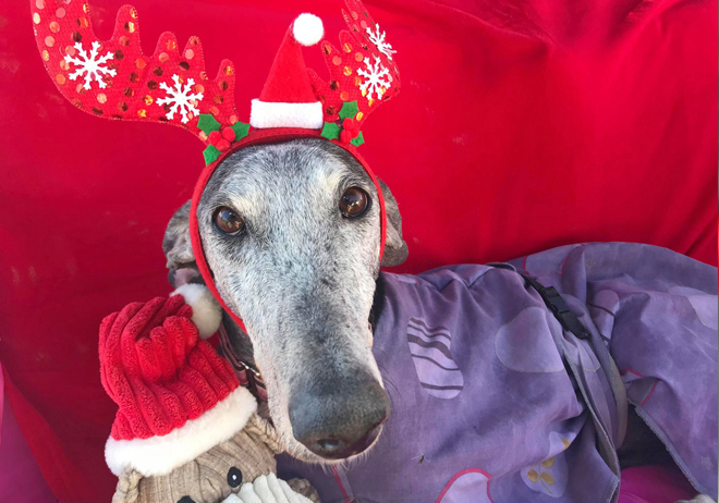 """2018 Christmas Advent Calendar. """"Nicki was found on the streets in terrible condition. She's not out the woods yet but she's going in the right direction now that she's started treatment for leishmania. Nicki isn't ready for adoption yet but she wanted to pop by and say merry Xma."""""""