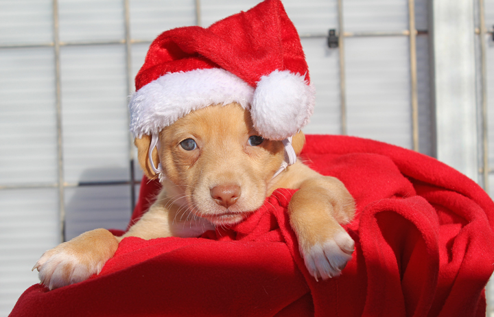 "2018 Christmas Advent Calendar. ""Praline is one of Perla's pups and what a little sweetheart she is. She's the smallest of the babies but makes up for it in personality. Could she be any cuter? Praline will be needing a home really soon but for now she will spend Xmas with her siblings and lovely mummy."""